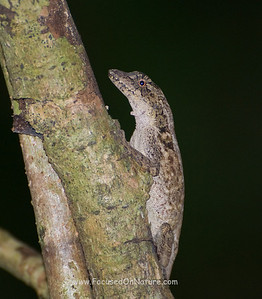 Lesser Scaly Anole