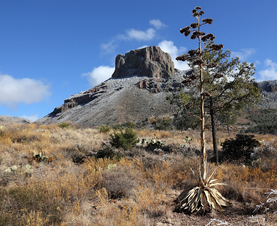 Last year's Agave stalk in Chisos Basin