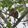 Ferruginous Pygmy-Owls