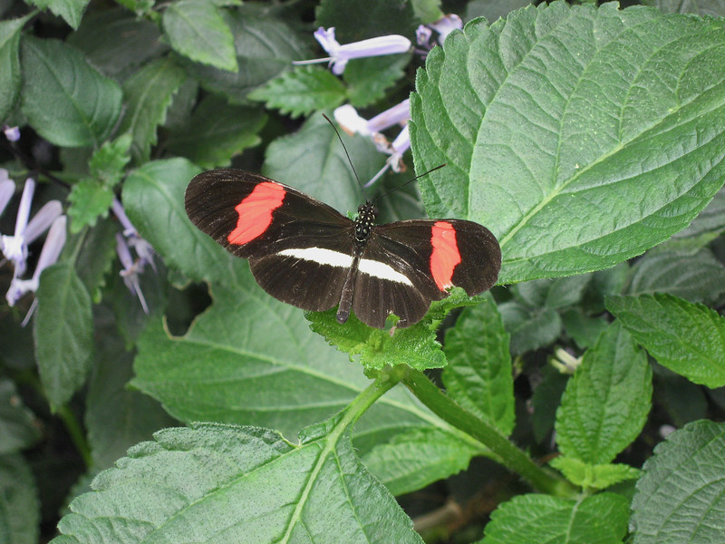 Butterfly (Heliconius erato) (The Red Postman)