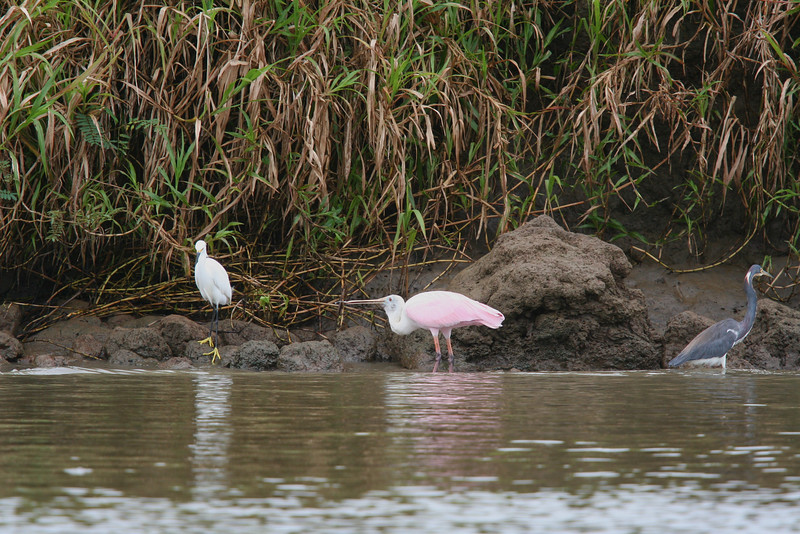 Tricolored Heron, Snowy Egret and Roseate Spoonbill