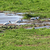 Wood Storks, Roseate Spoonbill, Snowy Egret, and Northern Jacanas