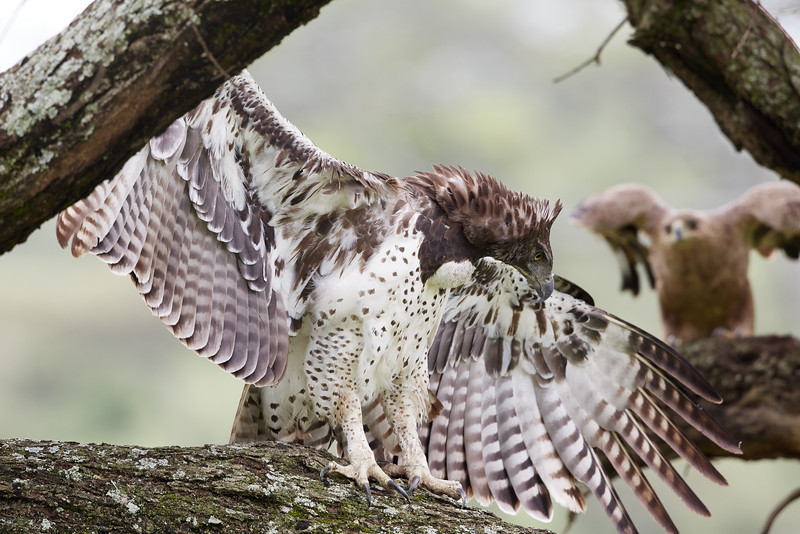 Martial Eagle with Tawny Eagle in Background