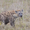Spotted Hyena (female)