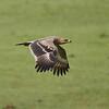 Immature Tawny Eagle