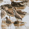 Marsh Sandpiper (front center), Ruff (behind it), Wood Sandpiper