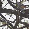 Banded Warblers