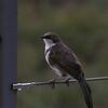 Northern Pied-Babbler