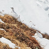 White-tailed Ptarmigans