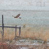 Northern Harrier Flying in the Snow