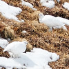 White-tailed Ptarmigans (camouflaged in the snow)