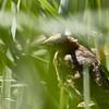 Yellow-headed Blackbird (juvenile)