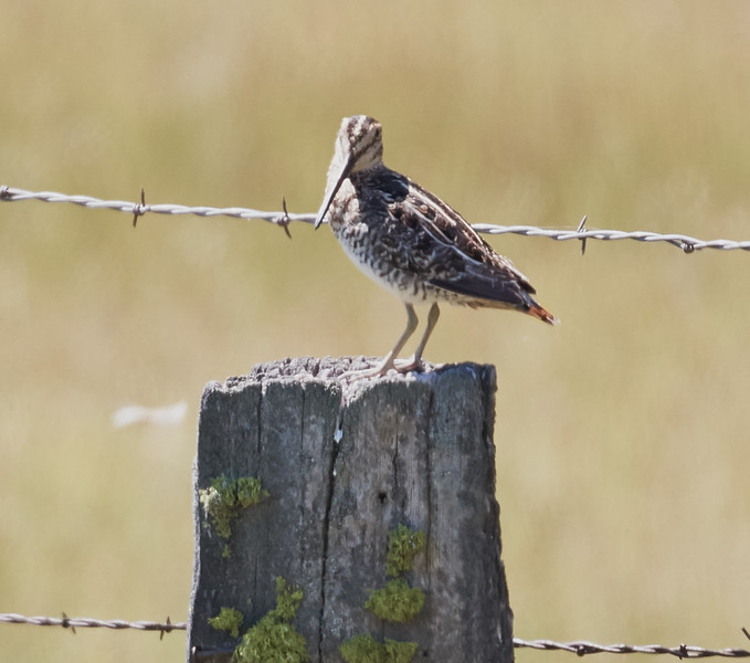 Wilson's Snipe on a Fence Post