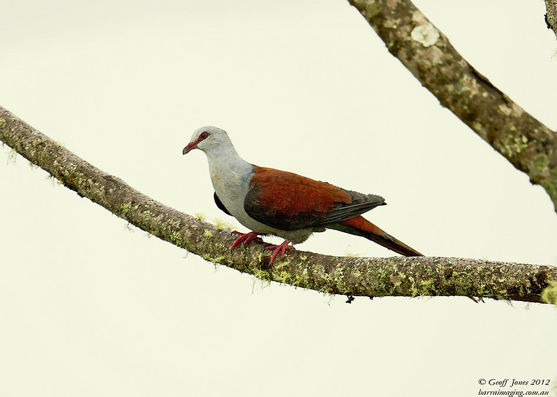 Great Cuckoo-Dove ( Reinwardtoena reinwardtii ) PNG-GRCD-02 Rondon Ridge PNG August 2012