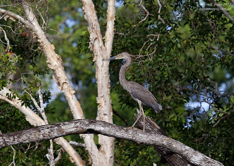 Great-billed Heron ( Ardea sumatrana )  PNG-GBHE-01 Bensbach Lodge PNG August 2012