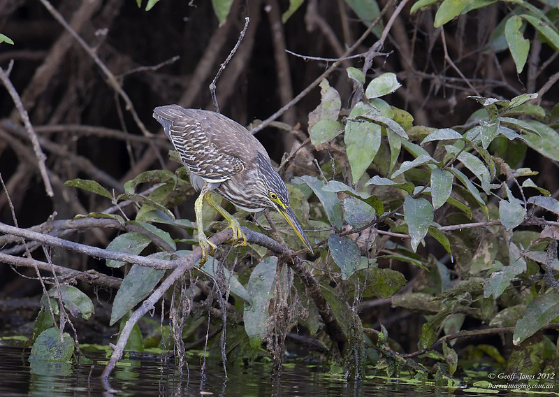 Striated Heron ( Butorides striata )  PNG-STHE-01 Bensbach Lodge PNG August 2012
