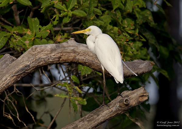 Intermediate Egret ( Egretta intermedia )  PNG-IMEG-01 Bensbach Lodge PNG August 2012