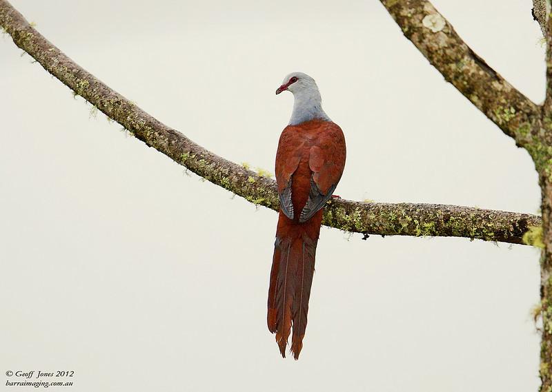 Great Cuckoo-Dove ( Reinwardtoena reinwardtii ) PNG-GRCD-01 Rondon Ridge PNG August 2012