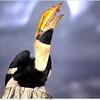 Horn-bill at Rotterdam Zoo