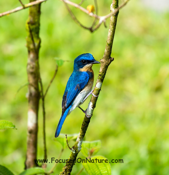 Malaysian Blue Flycatcher