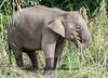 Bornean Pygmy Elephant