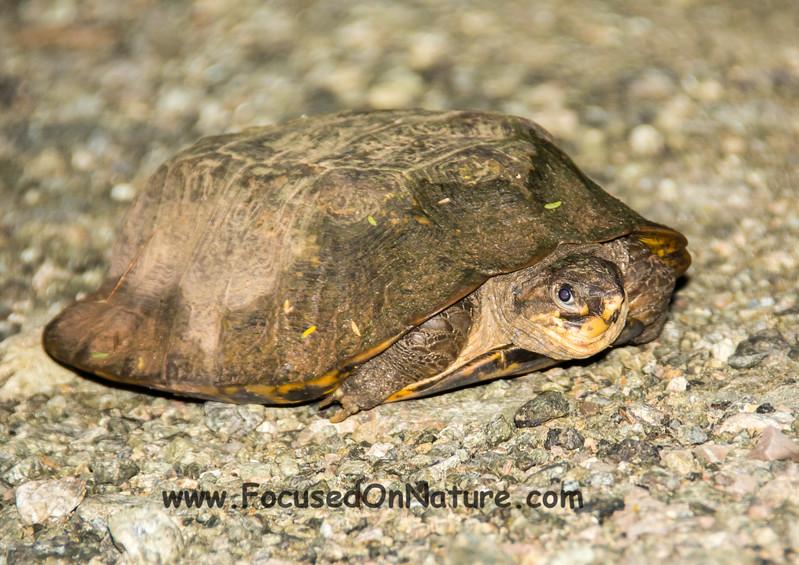 Malayan Flatshelled Turtle