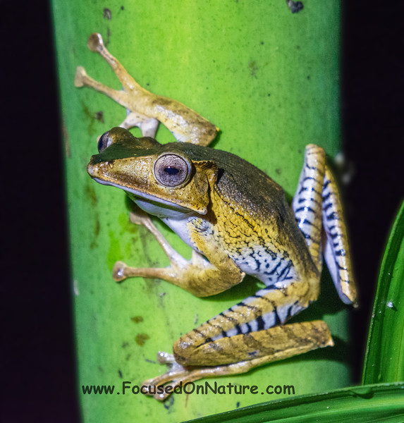 File-eared Frog