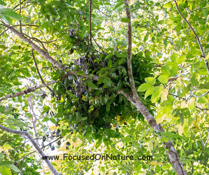 Orangutan Nest