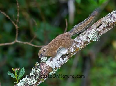 Bornean Black-banded Squirrel
