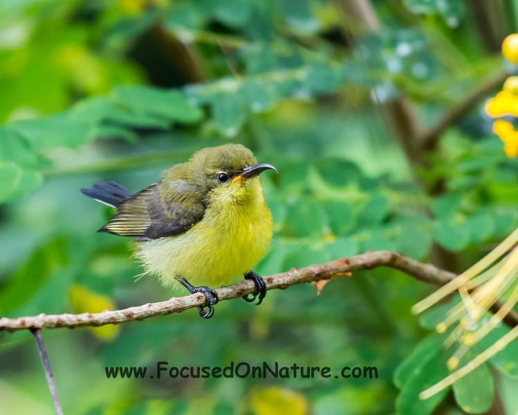 Juvenile Sunbird