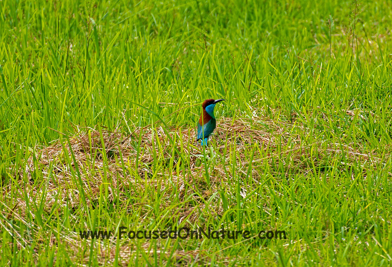 Nesting Blue-throated Bee-eater