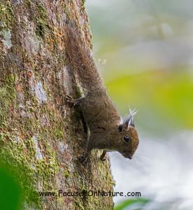 Whitehead's Pygmy Squirrel