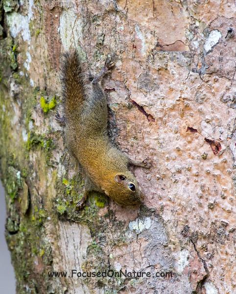 Bornean Pygmy Squirrel