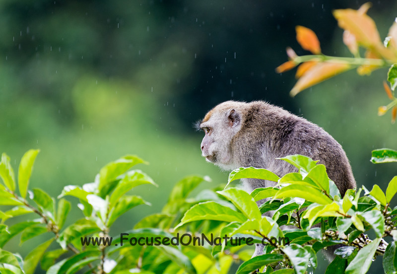 Long-tailed Macaque in the Rain