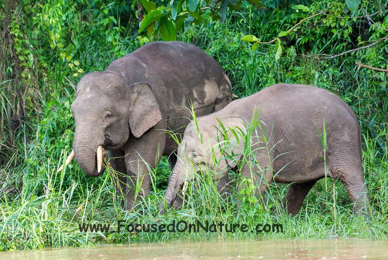 Bornean Pygmy Elephants