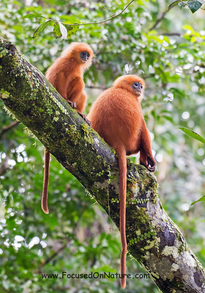 Red Langurs
