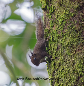 Whitehead's Pygmy Squirrel