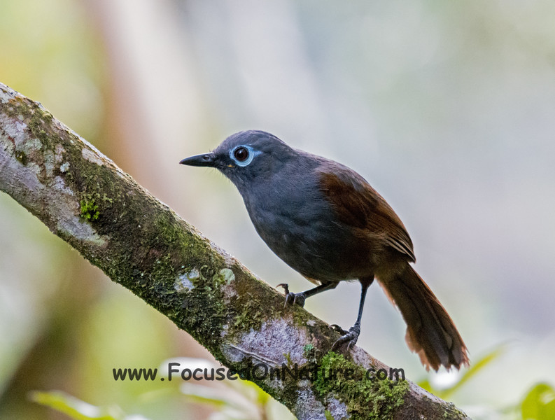 Sunda Laughing Thrush