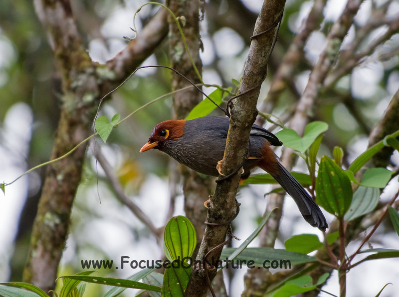 Chestnut-hooded Laughing Thrush