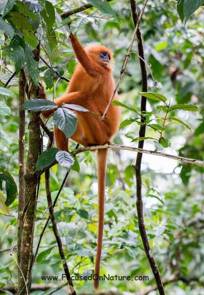 Red Langur