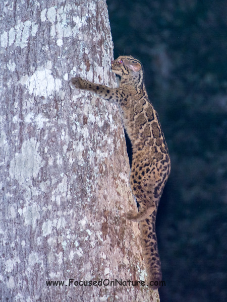 Marbled Cat Climbing Down