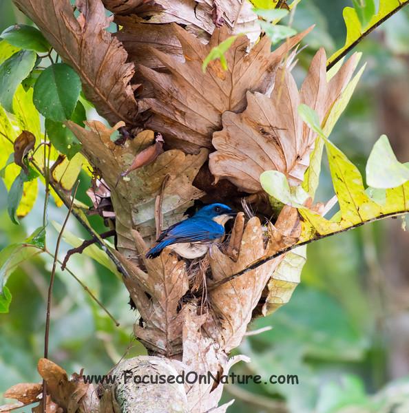 Malaysian Blue Flycatcher at Nest