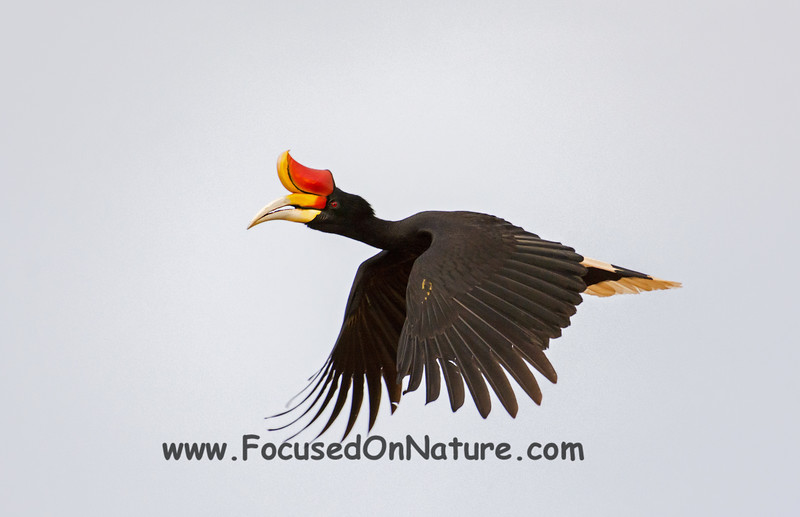 Rhinoceros Hornbill Flying