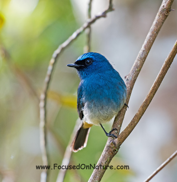 Indigo Flycatcher