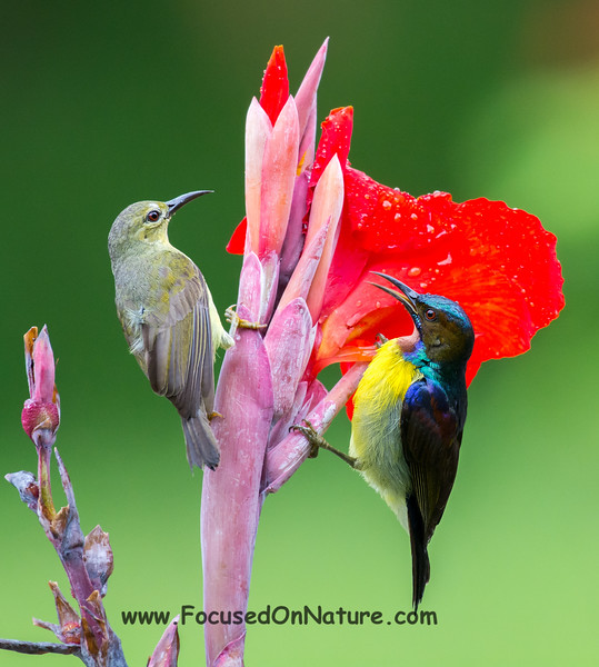 Brown-throated Sunbird Pair