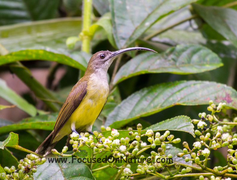 Long-billed Spiderhunter