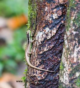 Striped Tree Skink