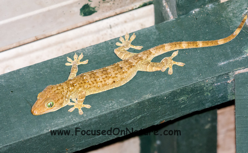 Another Large Forest Gecko