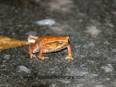 Kinabalu Sticky Frog