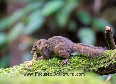Bornean Mountain Ground Squirrel